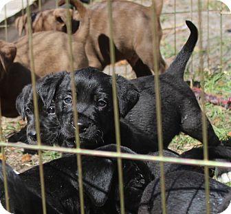 Labrador Retriever Mix Puppy for adoption in Largo, Florida - CUPID