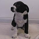 Adopt A Pet :: Cheyenne