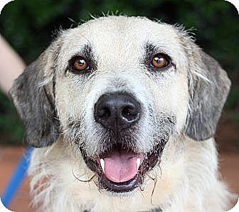 Irish Terrier For Sale Georgia Atlanta, GA - Irish Wo...