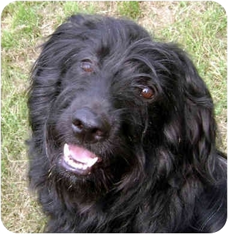 Labradoodle Dogs For Adoption