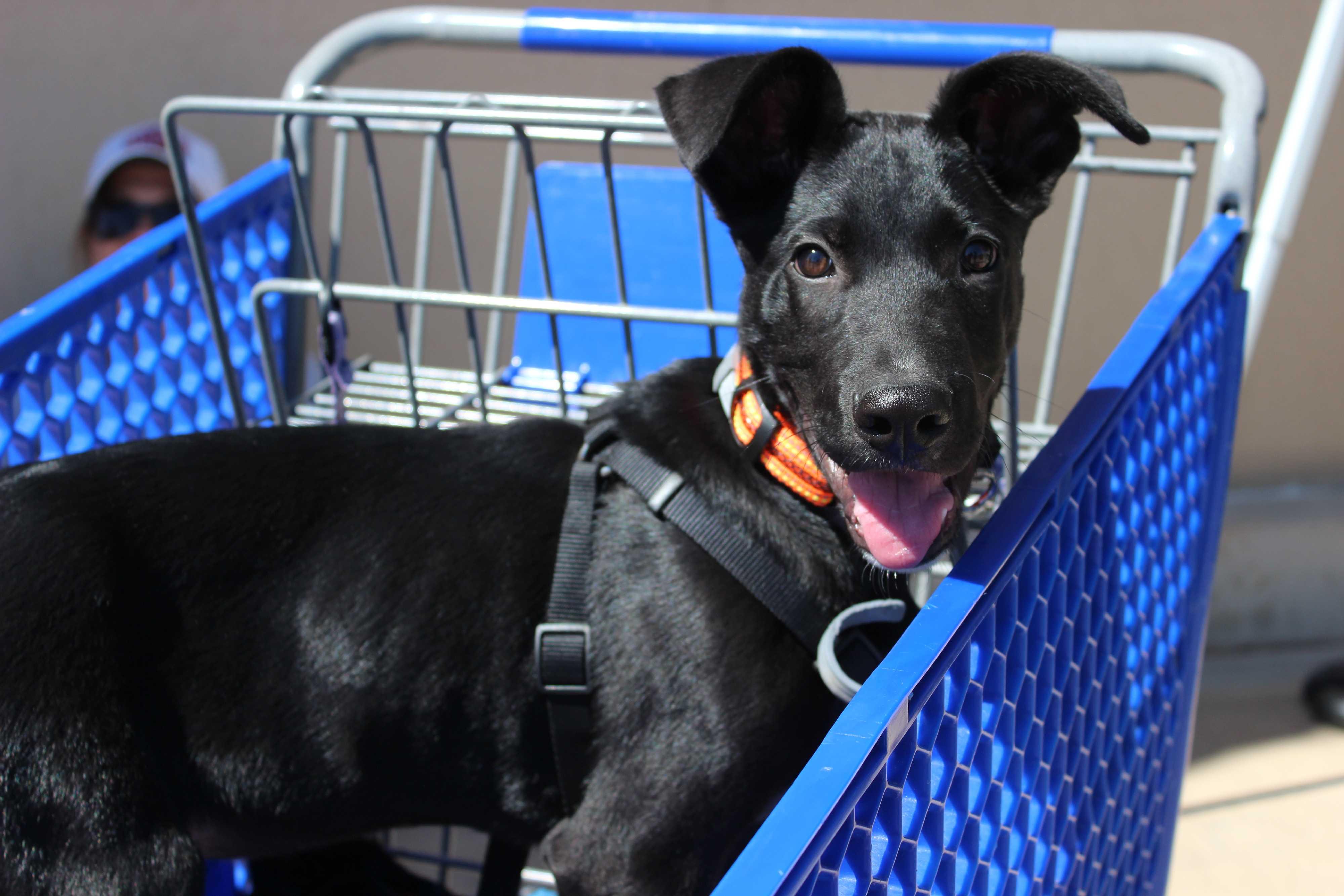 wichita falls, tx great dane meet draco a pet for adoptionmy name is draco!