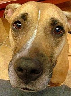 Phoenix Az American Pit Bull Terrier Mix Meet Lexi A Dog For Adoption
