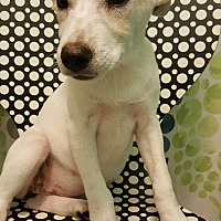 Adopt A Pet :: Lil runt - Tampa, FL