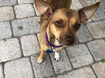 Adopt A Pet :: Big hears, big Heart...  - Ft Myers Beach, FL