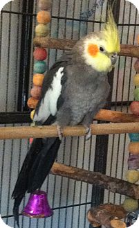 Cockatiel for adoption in Lenexa, Kansas - Quinn