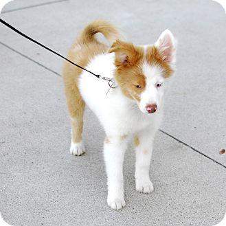 Detroit, MI - Australian Shepherd  Meet Pauly-Adopted! a Pet