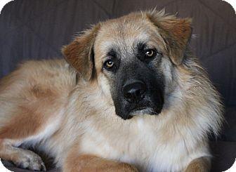 Westport Ct Golden Retriever Meet Fozzy Pending A Pet For