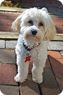 Columbus, OH - Miniature Poodle  Meet Sunny ADOPTION PENDING a Pet
