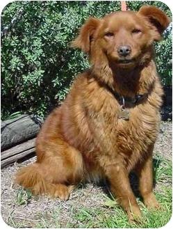 Brenham Tx Irish Setter Meet Rusty A Pet For Adoption
