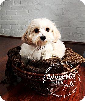 Omaha Ne Bichon Frise Meet Pixie A Pet For Adoption