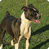 Boxer Mix Dog for adoption in Greenville, Rhode Island - Rachael