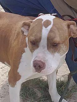 Adopt A Pet :: Buddy  - Windsor, NC