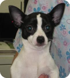 Sonoma Ca Jack Russell Terrier Meet Sebastian A Pet For Adoption