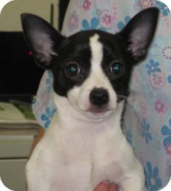Sonoma, CA - Jack Russell Terrier. Meet Sebastian a Dog ...