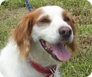 Brittany Dog for adoption in Russellville, Kentucky - Red