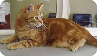 Domestic Shorthair Cat for adoption in Cannelton, Indiana - Kaycie