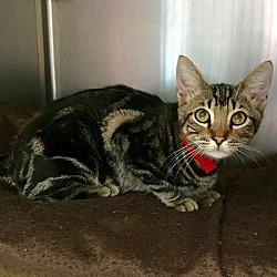 Bengal Kittens for Sale - Adoptapet com