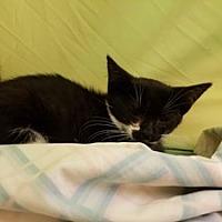 Adopt A Pet :: Wile E. Coyote - Hudson, NY