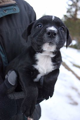Charlotte Nc Pit Bull Terrier Meet Jan A Pet For Adoption