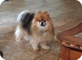 Pomeranian Dog for adoption in conroe, Texas - Froy