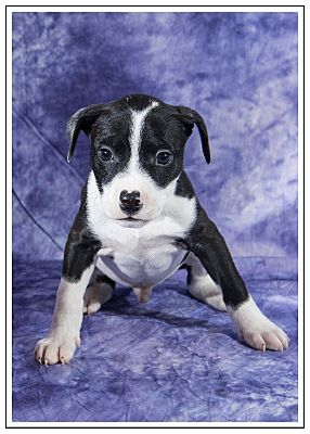 Elgin Il Jack Russell Terrier Meet Panther A Pet For Adoption