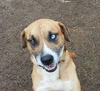 Adopt A Pet :: Blue  - Snow Hill, NC