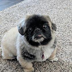 Pekingese Puppies for Sale in Minnesota - Adoptapet com