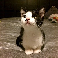 Adopt A Pet :: Pima - Houston, TX