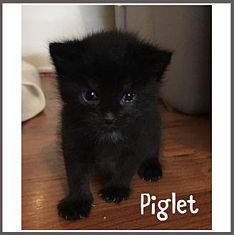 Adopt A Pet :: Piglet  - Toms River, NJ