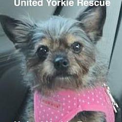 United Yorkie Rescue - FL - Odessa - Jean in Odessa, Florida