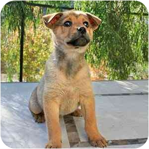 German Shepherd Dog Mix Puppy for adoption in Vista, California - Sophie