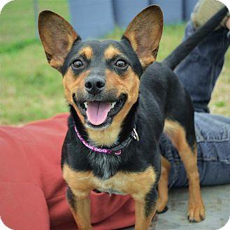 Hagerstown Md Miniature Pinscher Meet Chloe A Pet For Adoption