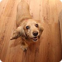 Adopt A Pet :: Kelsey - Newtown, CT
