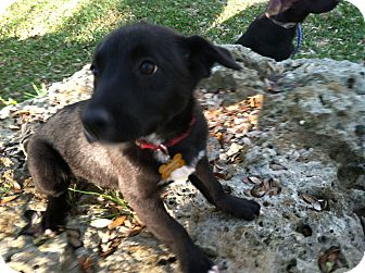 Labrador Retriever/Border Collie Mix Puppy for adoption in Boerne, Texas - Sophie