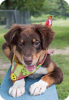 Wilmington Nc German Shepherd Dog Meet Rocko A Pet For Adoption