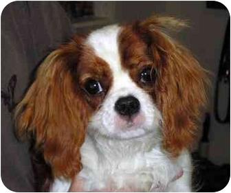 Sidney Bc Cavalier King Charles Spaniel Meet Minnie A Pet For
