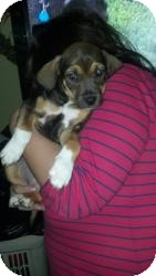 Beagle/Hound (Unknown Type) Mix Puppy for adoption in Freeport, New York - Roxie