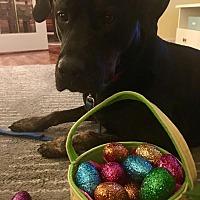 Cane Corso Mix Dog for adoption in Toronto/GTA, Ontario - FAYE