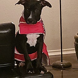 Pug Puppies for Sale in San Antonio Texas - Adoptapet com