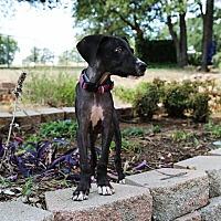 Adopt A Pet :: Addie - Lubbock, TX