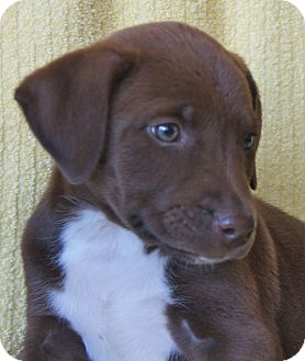 Houston Tx Doberman Pinscher Meet Azula A Pet For Adoption
