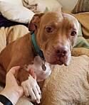 Adopt a Pet :: Millie - Sherman Oaks, CA -  American Staffordshire Terrier Mix