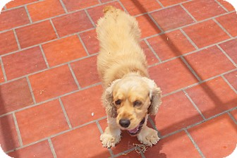 Mcallen Tx Cocker Spaniel Meet Bonnie A Pet For Adoption