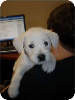 Marietta Ga Miniature Schnauzer Meet Kailie A Pet For Adoption