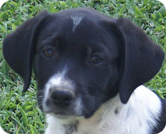Pointer/Labrador Retriever Mix Puppy for adoption in Spring Valley, New York - BW