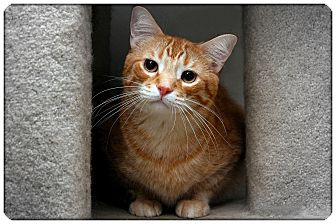 Domestic Shorthair Cat for adoption in Sterling Heights, Michigan - Nathan - ADOPTED!