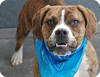 New York Ny English Bulldog Meet Niko A Pet For Adoption