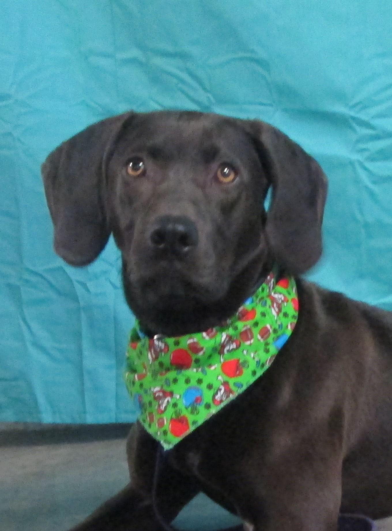LaGrange, KY - Labrador Retriever. Meet Adele a Dog for Adoption.