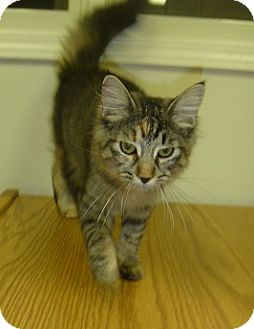Domestic Mediumhair Cat for adoption in Hamburg, New York - Kahlua