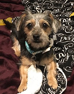 Adopt A Pet :: Dixie  - Oklahoma City, OK